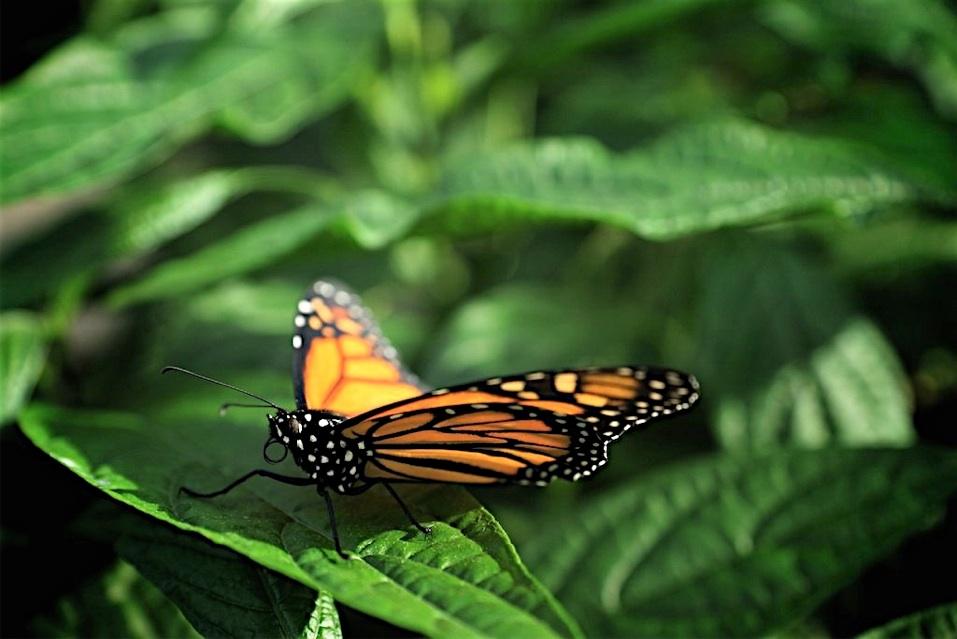 Papillons en libert du jardins botanique de montr al for Papillons jardin botanique 2016