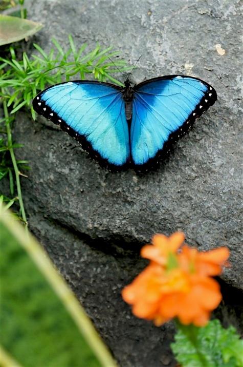 Papillons en libert du jardins botanique de montr al for Jardin botanique montreal papillons 2016