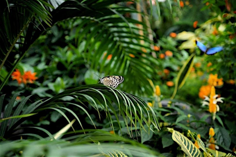Papillons en libert du jardins botanique de montr al for Jardin botanique montreal tarif